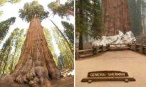 Cự sam, loài cây cao nhất thế giới đang được nỗ lực bảo vệ khỏi nạn cháy rừng