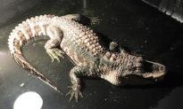 Nuôi cá sấu làm 'thú cưng' trong tầng hầm, người đàn ông phải nhờ cảnh sát đến giải cứu