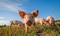 Để tránh chim tấn công ảnh hưởng đến an toàn đường bay, sân bay Hà Lan đã thả lợn tự tìm thức ăn
