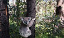 Hàng trăm chú gấu túi được giải cứu khỏi trận cháy rừng, chú chó con ở Úc giành giải thưởng quốc tế