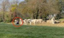 Đi chơi công viên hoang dã, nam du khách đột ngột lao đến trước mặt đàn hổ trắng và ngồi khóc