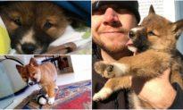 Chú chó Dingo hoang dã bị chim cắp thả vào vườn, được nuôi dưỡng trở thành chó cưng