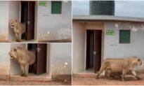 Sư tử cái bước ra từ nhà vệ sinh công cộng khiến du khách sững sờ