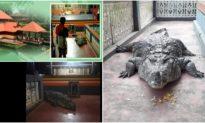 Cá sấu ăn chay, sống 70 năm trong đền thiêng Ấn Độ