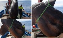 Ngư dân bắt được cá thái dương nặng gần 2 tấn và đem nó thả về biển