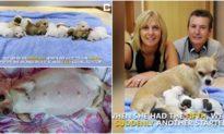 Chó mẹ chihuahua 'lập kỷ lục' khi sinh một đàn 10 con chó con