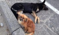 Chó hoang mang thai bị tai nạn, chú chó 'bạn thân' không rời nửa bước