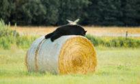 'Đôi cánh thiên thần': Chim ưng sà xuống lưng gấu đang thơ thẩn trên cuộn rơm khô
