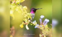 Những bức ảnh ngoạn mục về loài chim ruồi nhỏ bé xinh đẹp